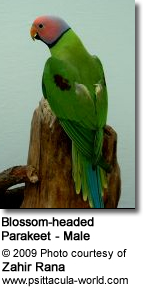Blossom-headed Parakeet - Male