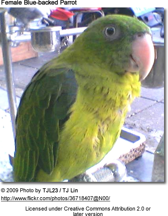 Female Blue-backed Parrot