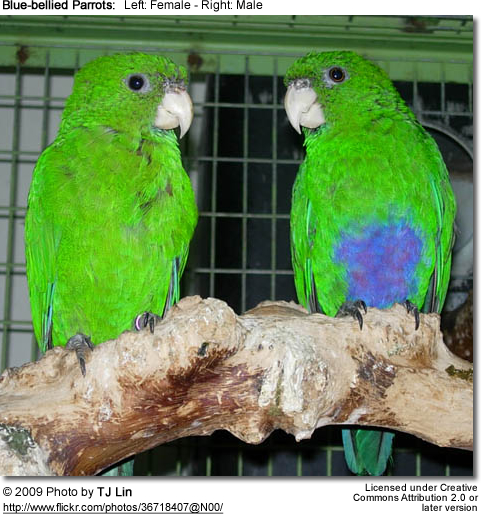 Blue-bellied Parrot