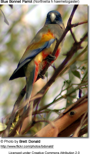 Blue Bonnet Parrot