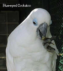 Blue-eyed Cockatoo