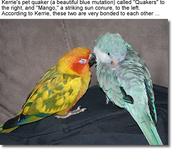 Blue-mutation Quaker together with a Sun Conure