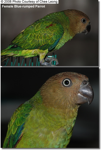 Female Blue-rumped Parrot