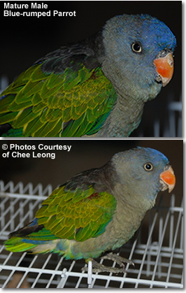 Male Blue-rumped Parrot