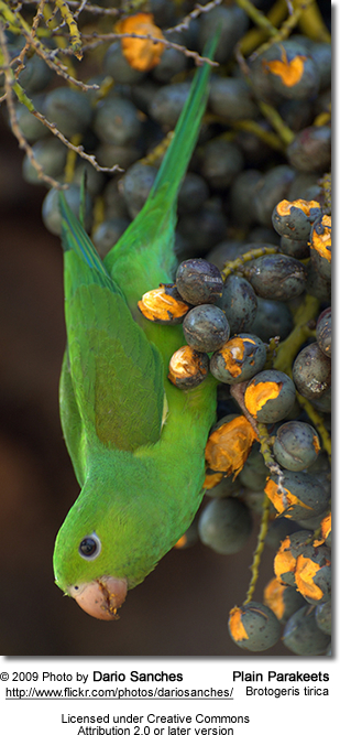 Plain Parakeets (Brotogeris tirica)