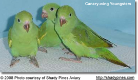Canary-winged Parakeets