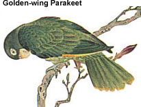 Golden-wing Parakeet