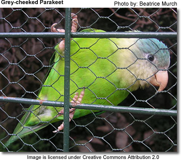 Grey-cheek parakeet