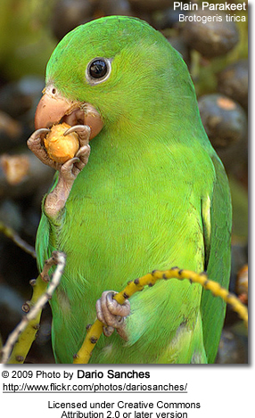 Plain Parakeet - Headshot