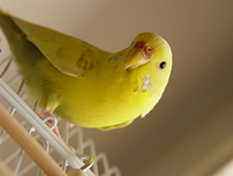 Budgie Female