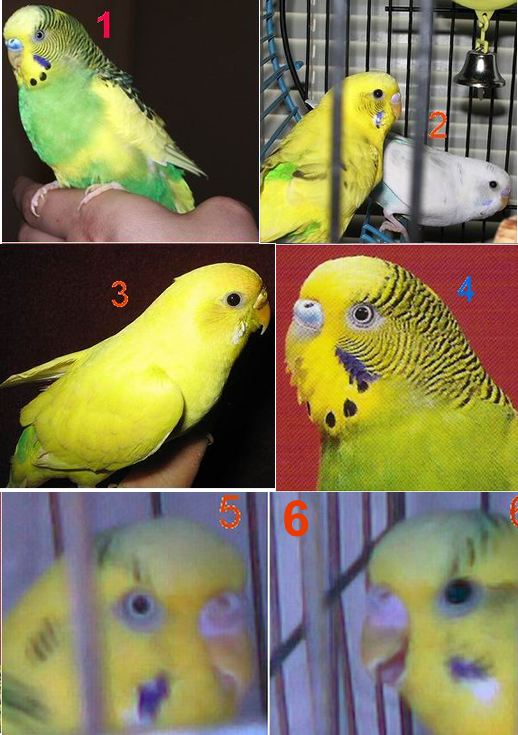 What to feed a budgie. What you need 2 know.