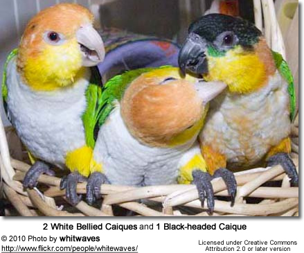 Black-headed Caique and White-bellied Caique