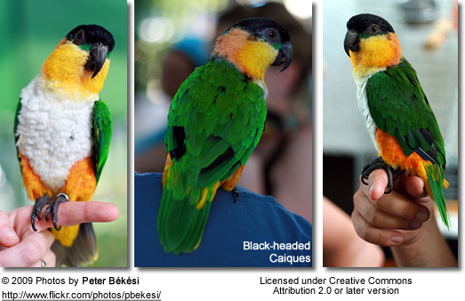 Black-headed Caique - from front, back and side view