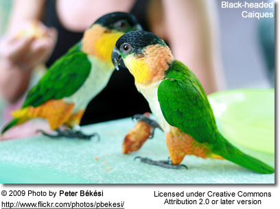 Black-headed Caiques