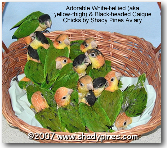 ShadyPines - Black and White-headed Caiques