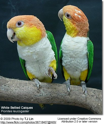 White-bellied Caiques