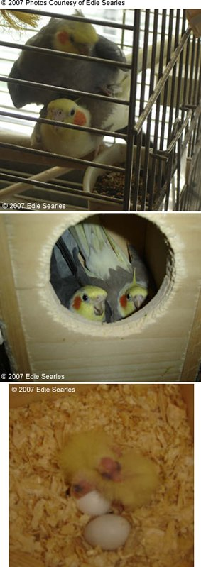 Cockatiel Breeding