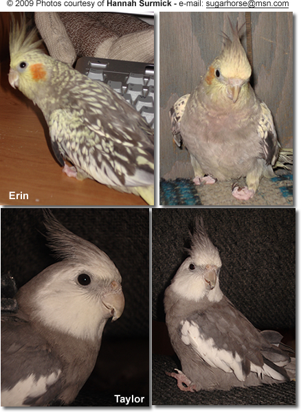 Special Abled Cockatiels