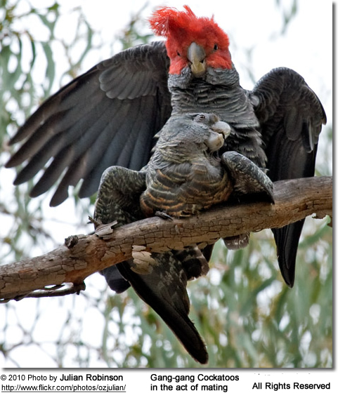 Gang Gang Cockatoos mating