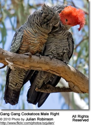 Gang-gang Cockatoo Couple