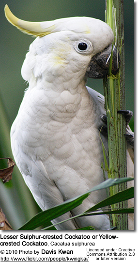 Lesser Sulphur-crested Cockatoo, or Yellow-crested Cockatoo, Cacatua sulphurea
