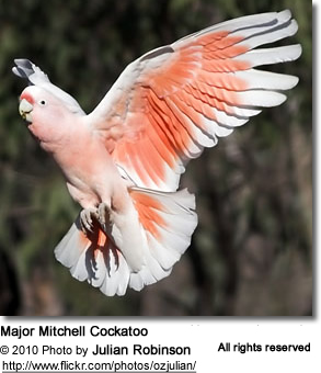 Major Mitchell Cockatoo in flight