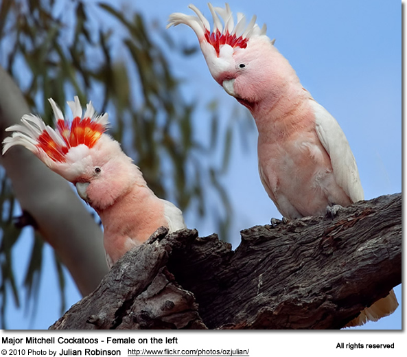 Major Mitchell Cockatoos - Female on the left.