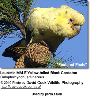 Leucistic MALE Yellow-tailed Black Cockatoo