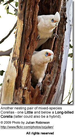 Mixed Pair of Corella Cockatoos: one little corella and one long-billed corella