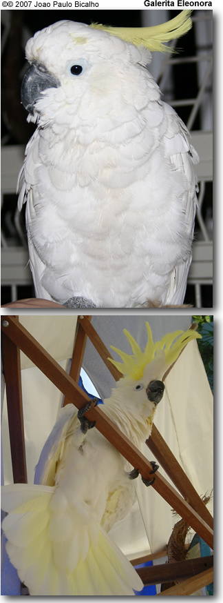 Eleanora Cockatoo
