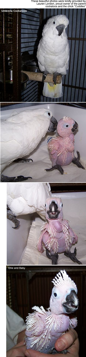 Umbrella Cockatoos and Chick