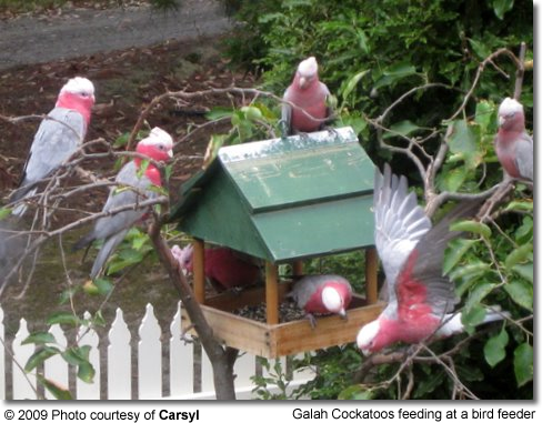 Galah Cockatoos at Bird Feeder in the native habitat of Australia