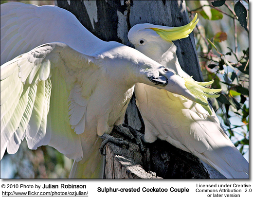 Sulphur-crested Cockatoo Couple