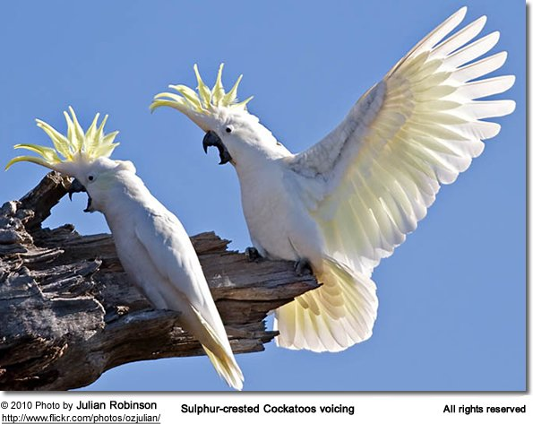 Sulphur-crested Cockatoos voicing