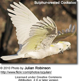 Sulphur-crested Cockatoos in flight