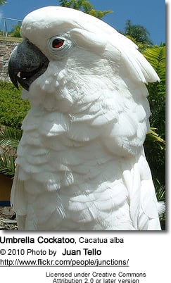 White Cockatoo aka Umbrella Cockatoo