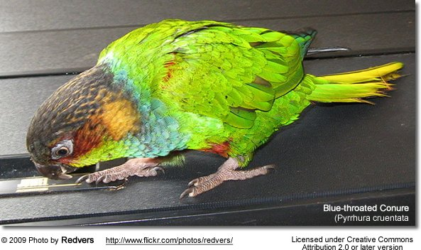 Blue-throated Conure on flat surface