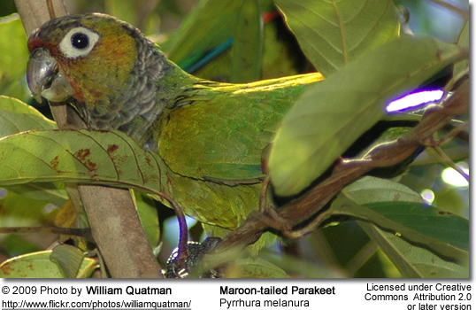 Maroon-tailed Conure or Parakeet