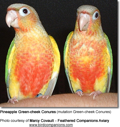 Yellow-sided Conures (Green-cheek conure Mutations)