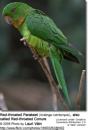 Red-throated Parakeet (Aratinga rubritorquis), also called Red-throated Conure