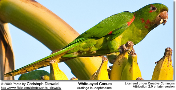 White-eyed Conures