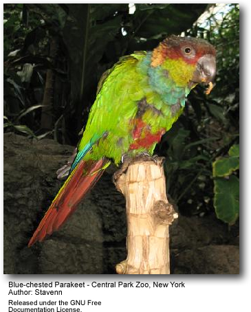 Blue-chested Conure