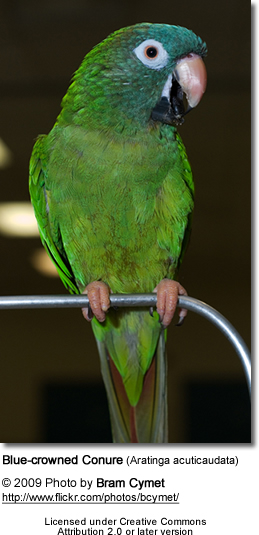 Sheri's Blue-crowned Conure