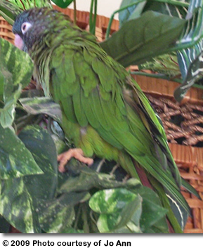 Blue-crown Conure