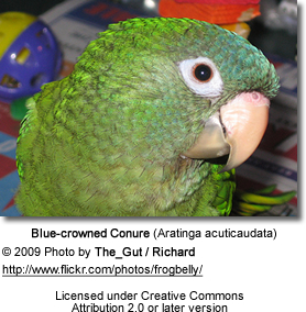 Blue-crowned Conure - Head Detail