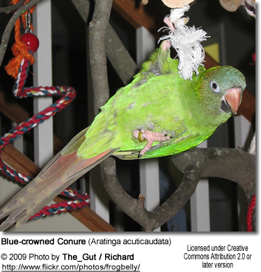 Playful Blue-crowned Conure