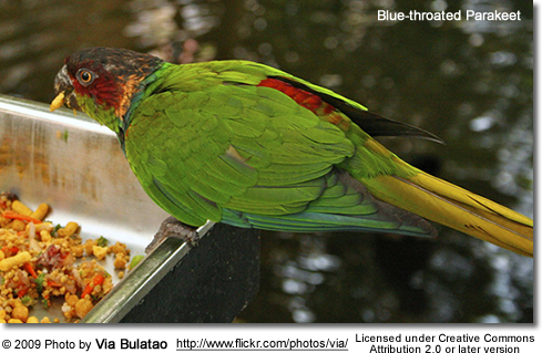 Blue-throated Conure