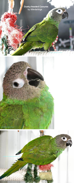 Dusky-headed Conure