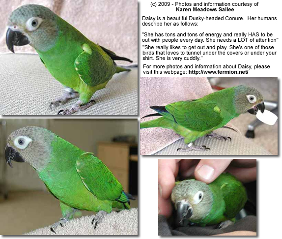 "Dusky-headed Pet Conure ""Daisy"""
