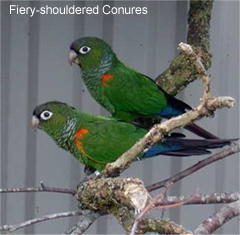Fiery-shouldered Conures